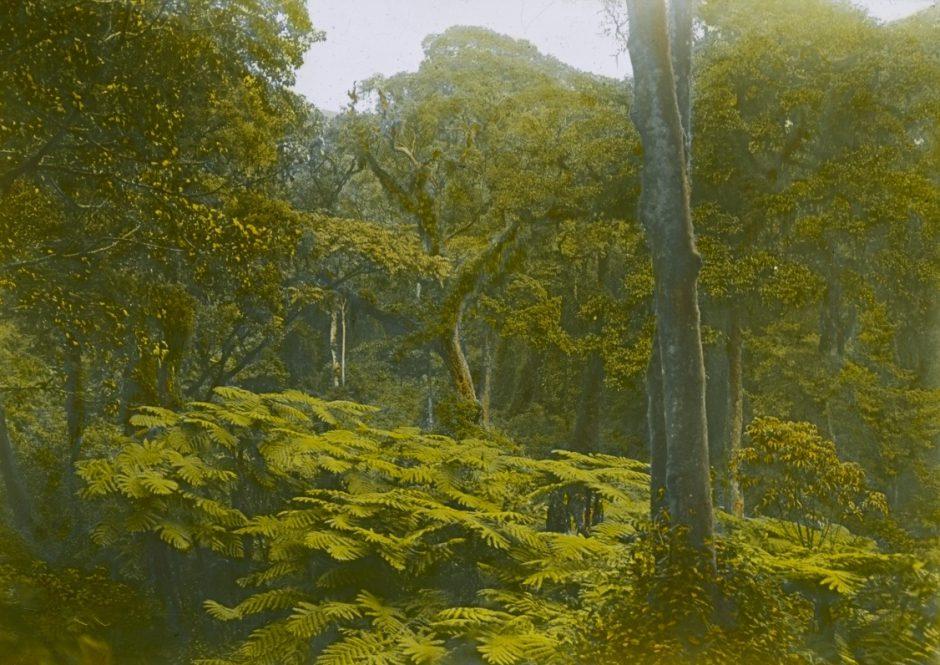 Expedition, Bioko, Baumfarne, Fotografie, handkoloriert, grün