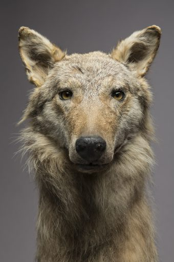 Wolfspräparat